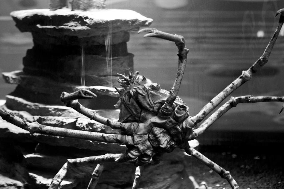 japanese spider crab © Verena Fischer 2012